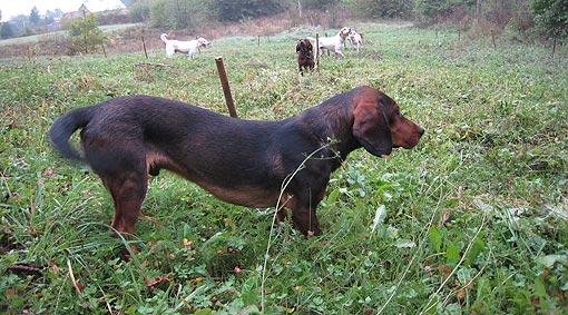Ocjenjivanje lovačkih pasa goniča